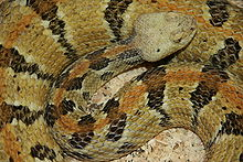 Camebrake Rattlesnake (photo credit: Wikipedia) Note the differently colored stripe down its back