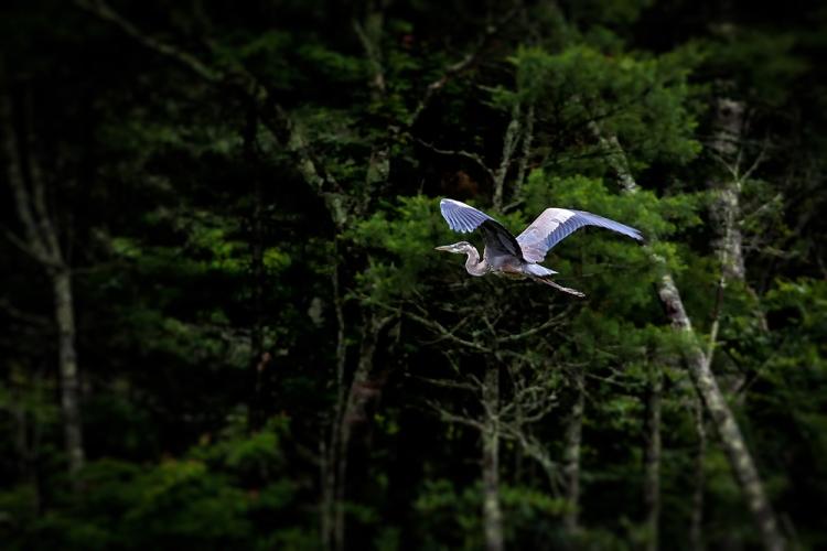 A heron soars through the trees