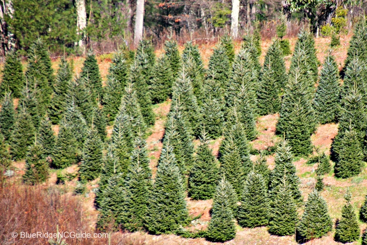 Christmas tree choose and cut farm4